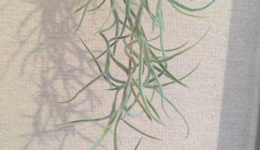 今話題のインテリアに良い植物はこれ!「チランジア・ウスネオイデス」